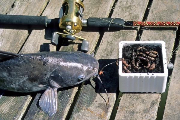 Night crawlers and other earthworms are irresistible to channel cats, small flatheads and small blues. Fish on a slip-bobber rig, floating just above bottom. Or use a syringe to add a shot of air so when fished on a bottom rig the worm floats where cats can find it.