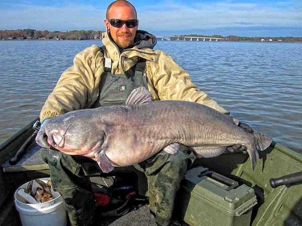 The author caught this blue catfish in a tidal river in eastern Virginia while fishing an eddy line adjacent to a feeding flat in November. This fish is one of several in the 40- to 50-pound range that were caught during the last hour of an outgoing tide.